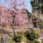 城南宮のしだれ梅と椿まつりで春を満喫!女性限定の花守りや名物椿餅