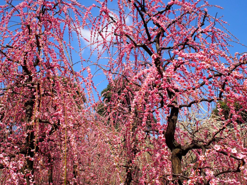 青空に映える満開の梅の花
