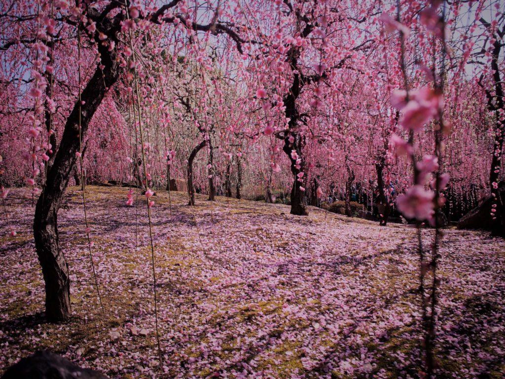 梅花の絨毯(じゅうたん)