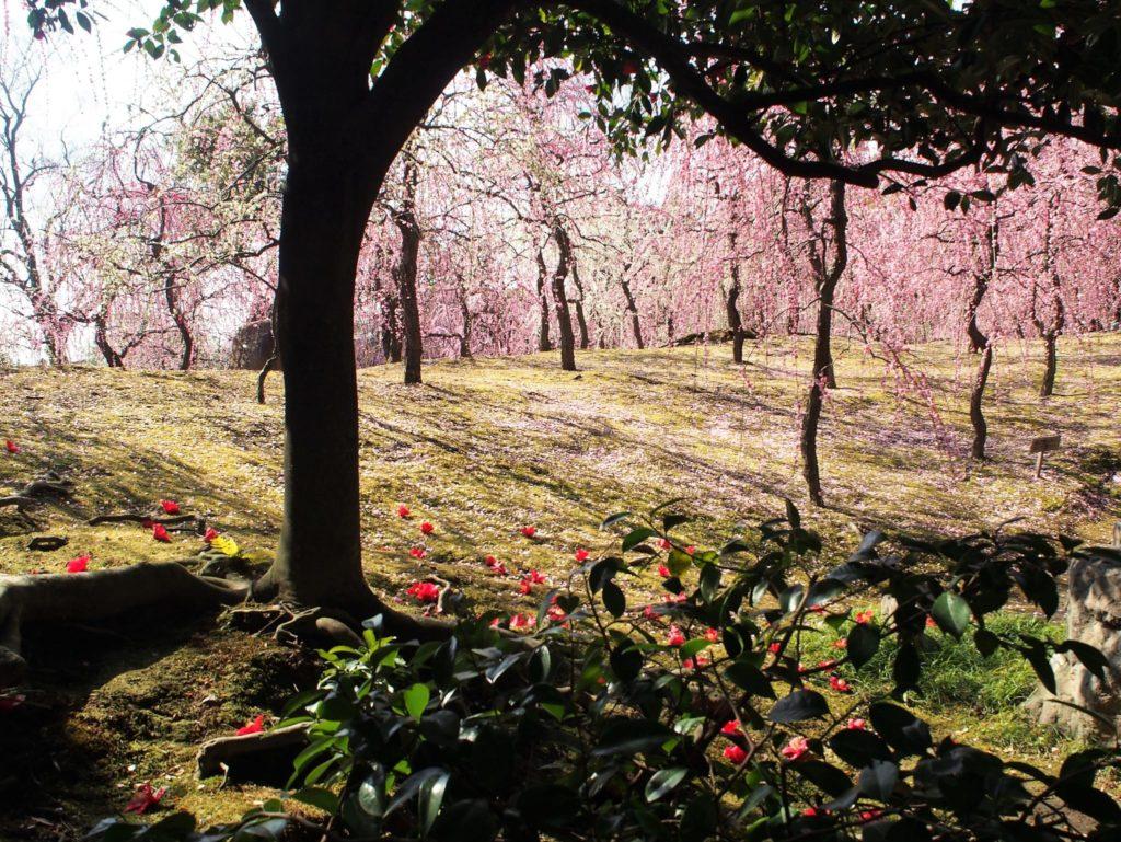 城南宮の満開の梅と椿