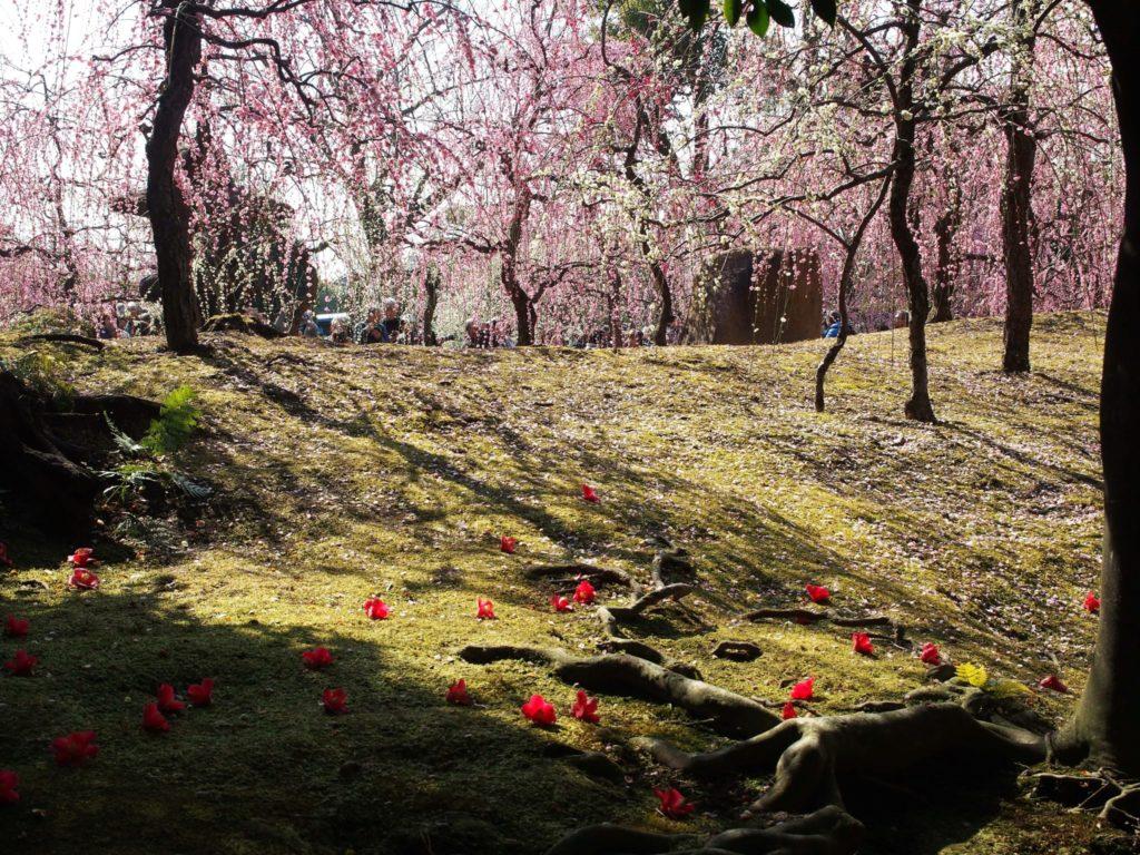 梅と椿そして苔の絨毯(じゅうたん)