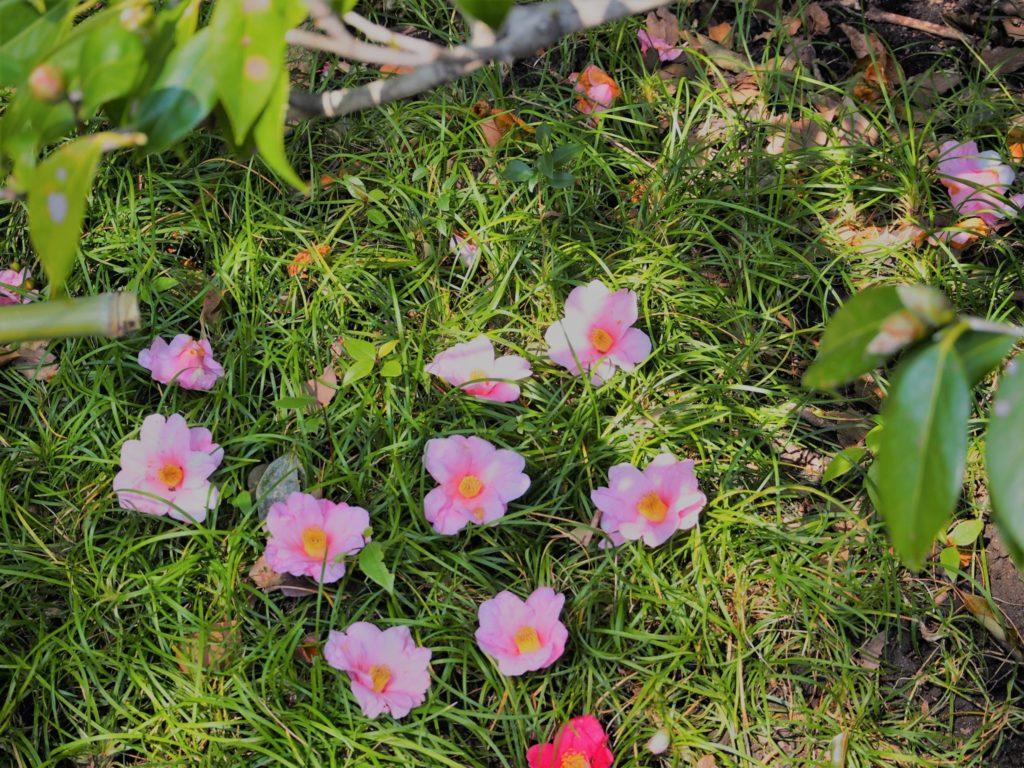 並べられたピンクの椿