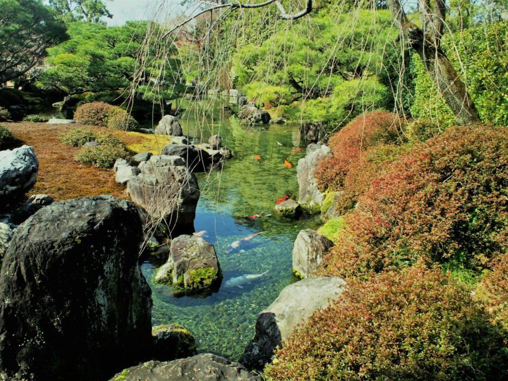 庭園の池で優雅に泳ぐ鯉(こい)
