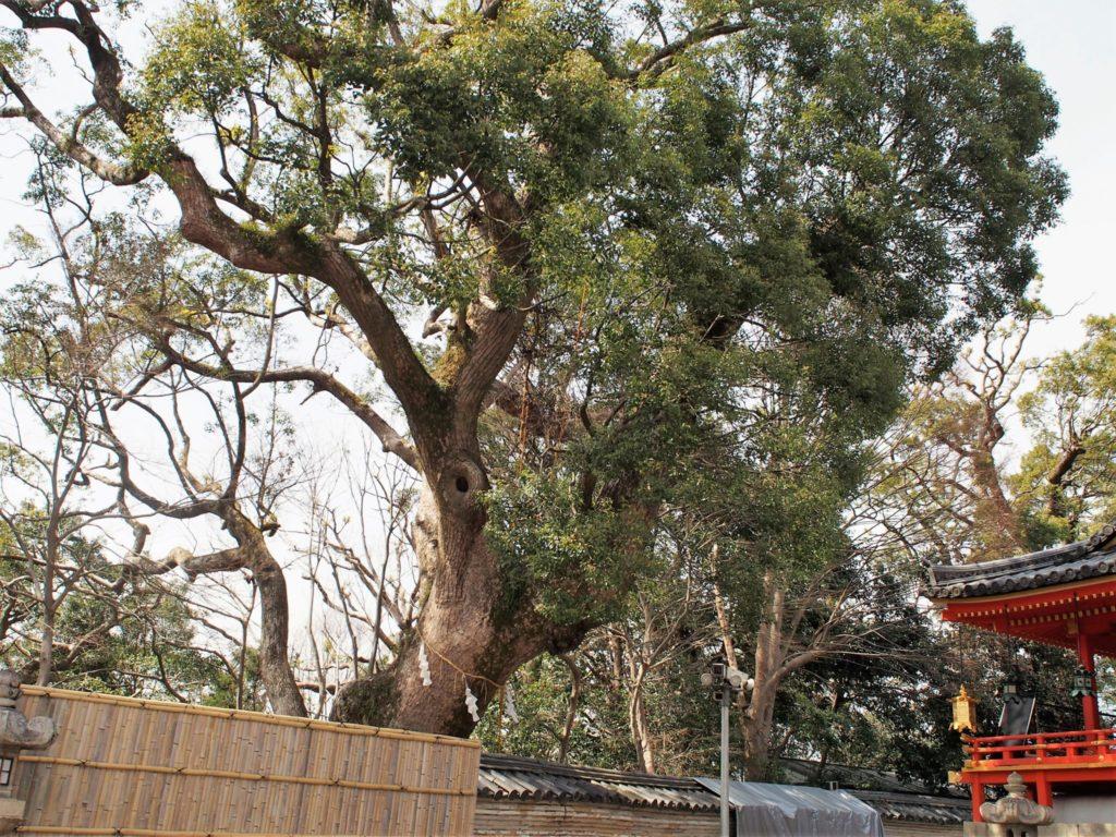 石清水八幡宮の御神木の「楠」
