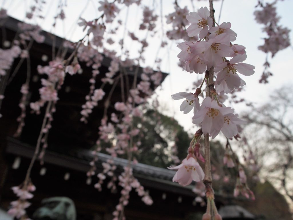 大石神社名物「しだれ桜」