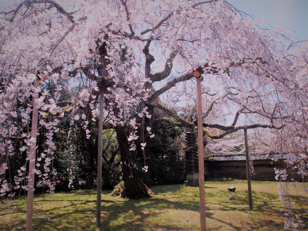三宝院の大紅しだれ桜