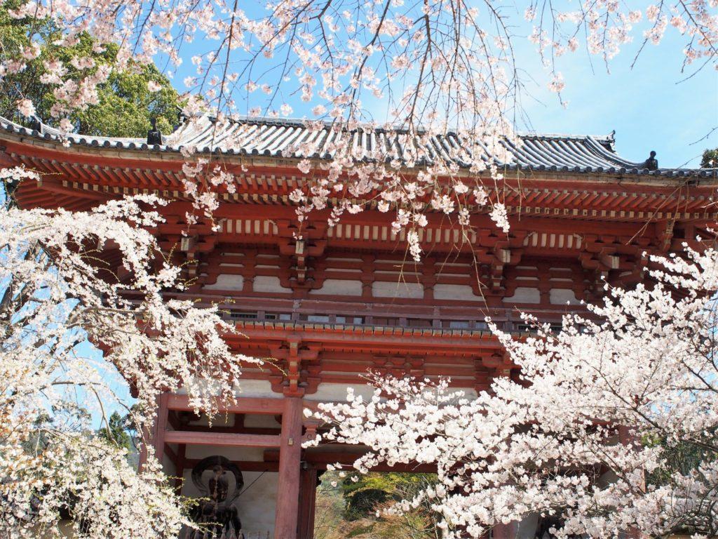 西大門(仁王門)と桜