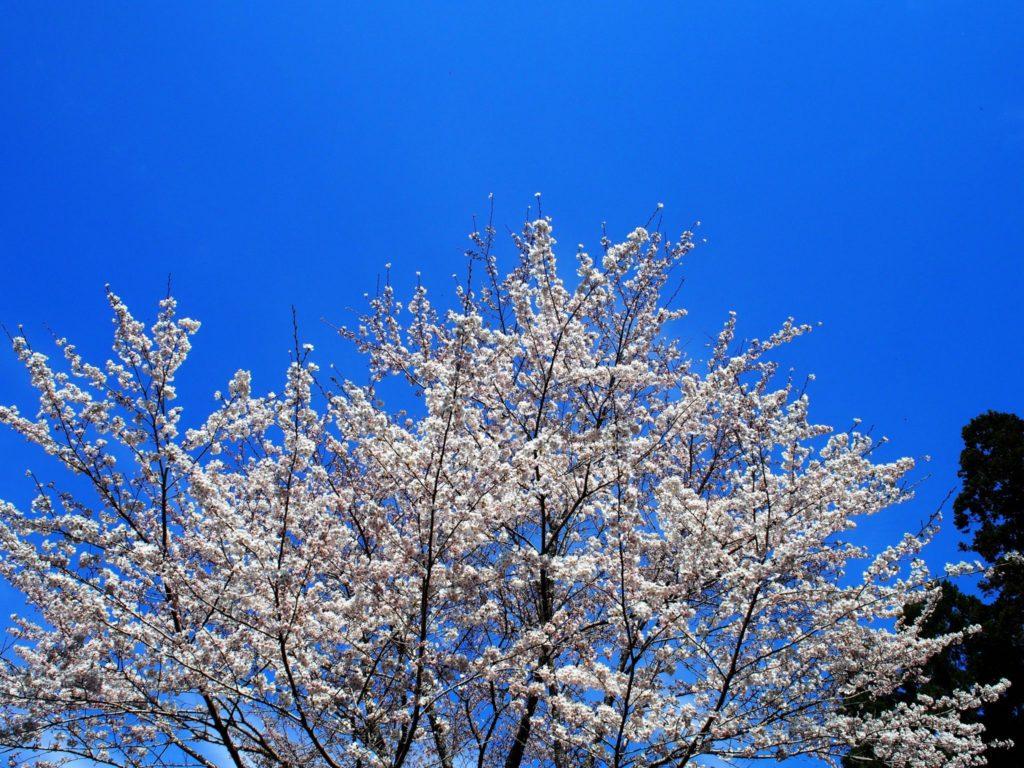 醍醐の空と桜
