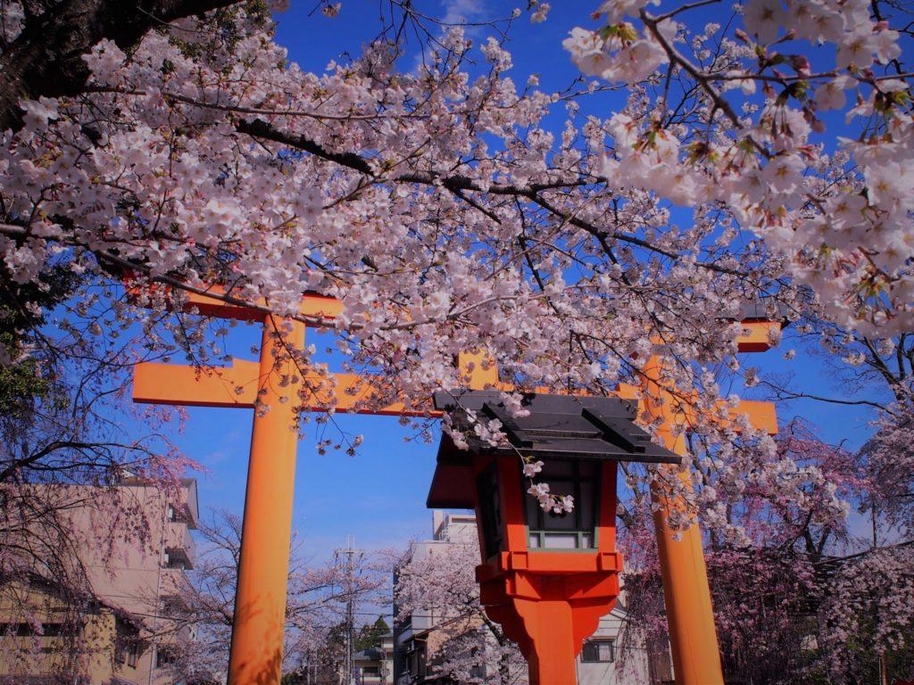 鳥居周辺の桜