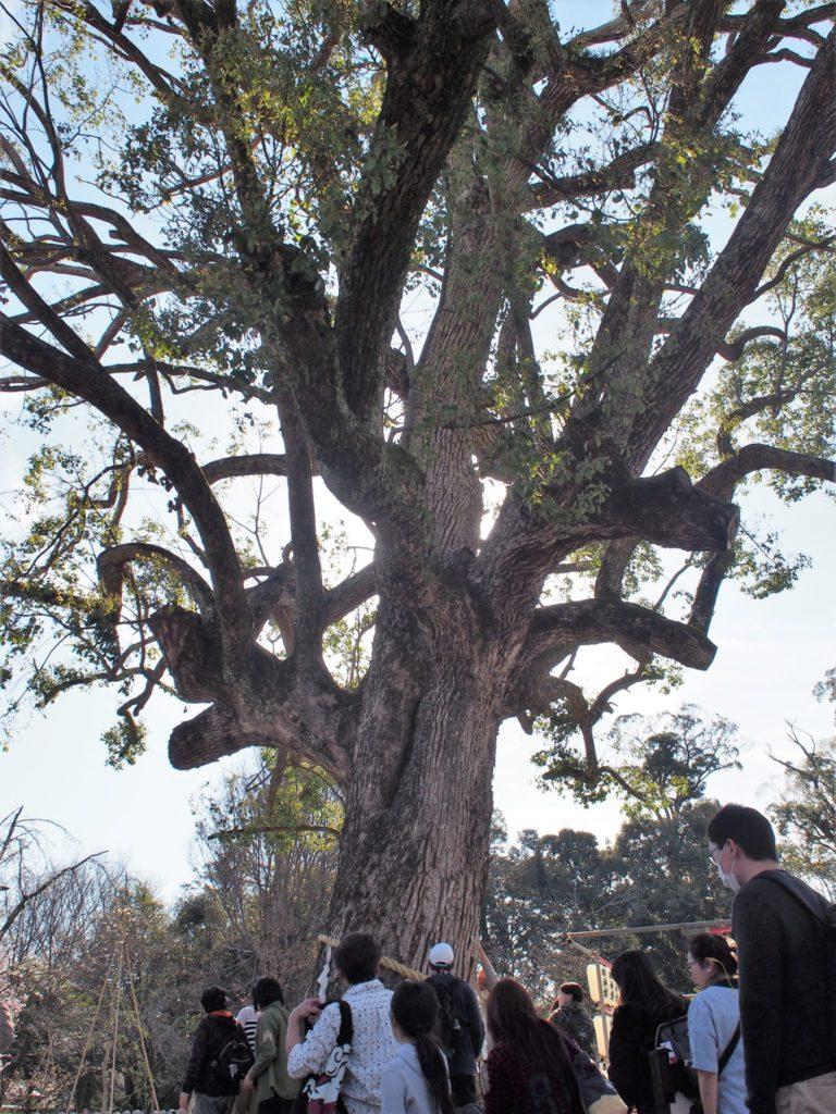 平野神社のご神木