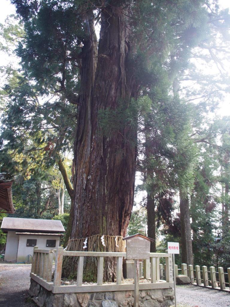 ご神木の大杉