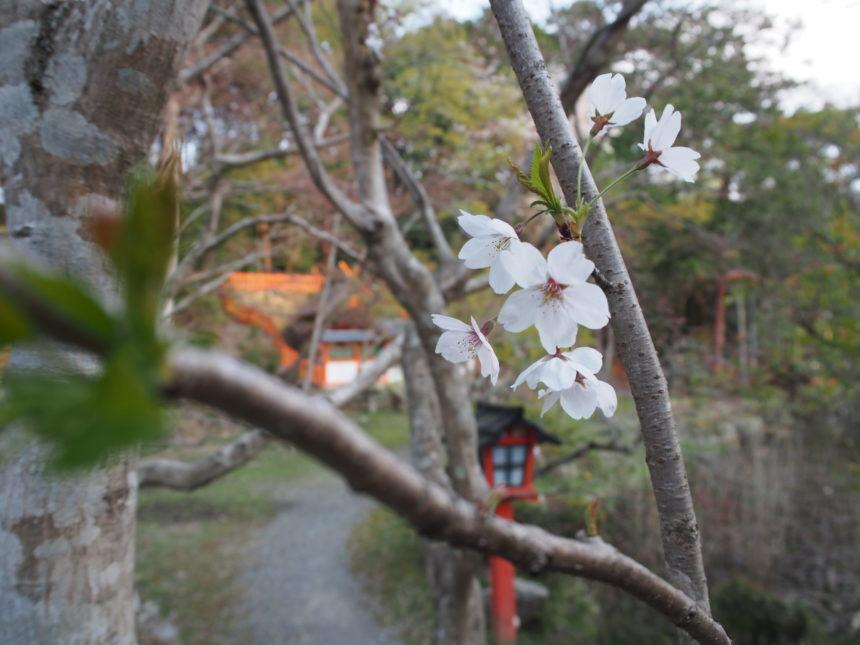 鯉沢池の周辺の桜