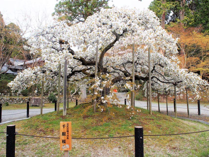 幻の「千眼桜」