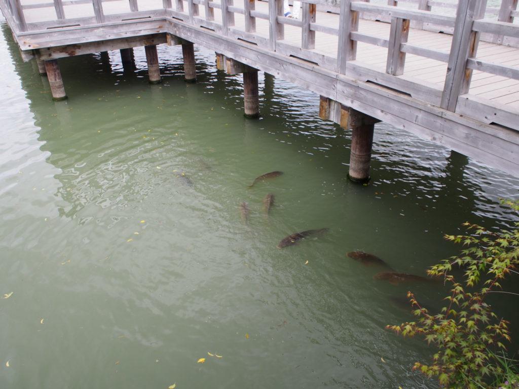 八条ヶ池の優雅に泳ぐ鯉
