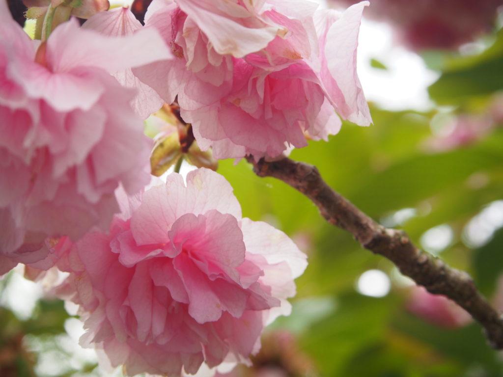 長岡天満宮のプクプクの桜