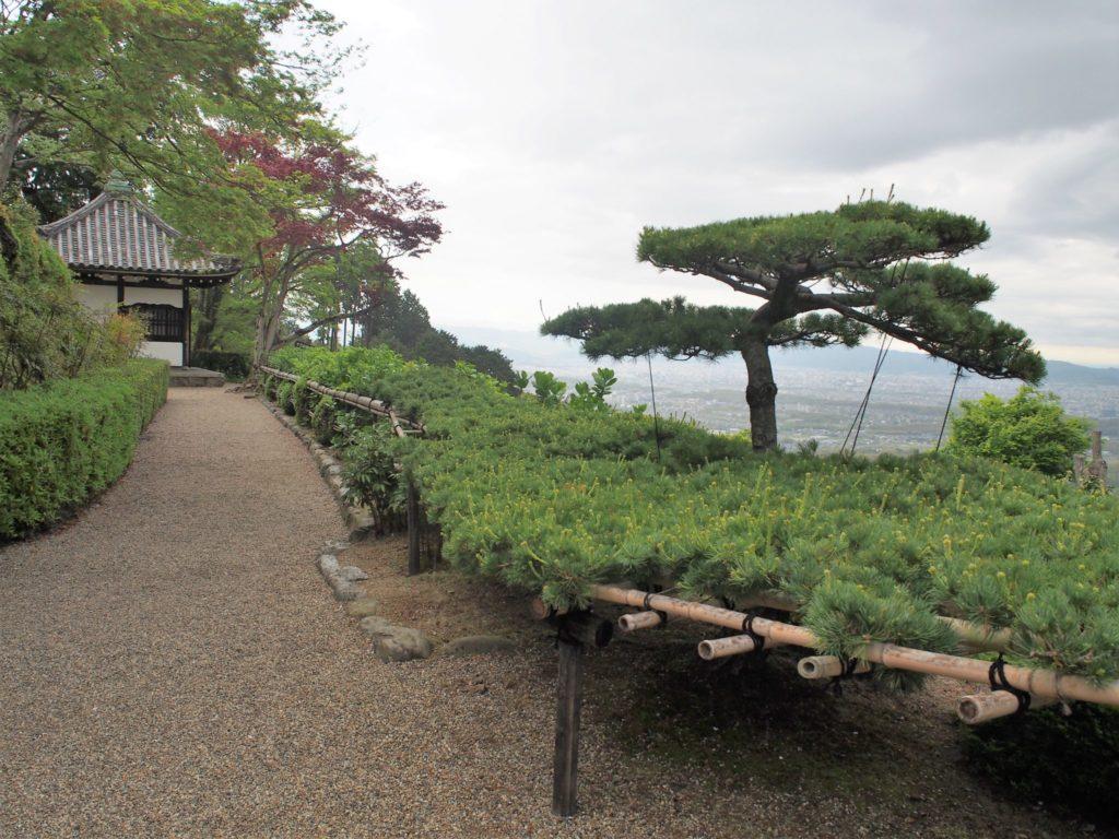 善峯寺の遊龍の松 37m