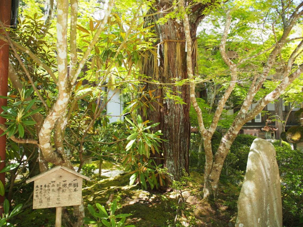 樹齢700年の美しい古木