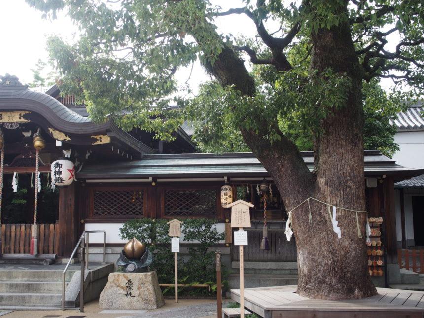晴明神社のご神木は樹齢推定300年の楠の木