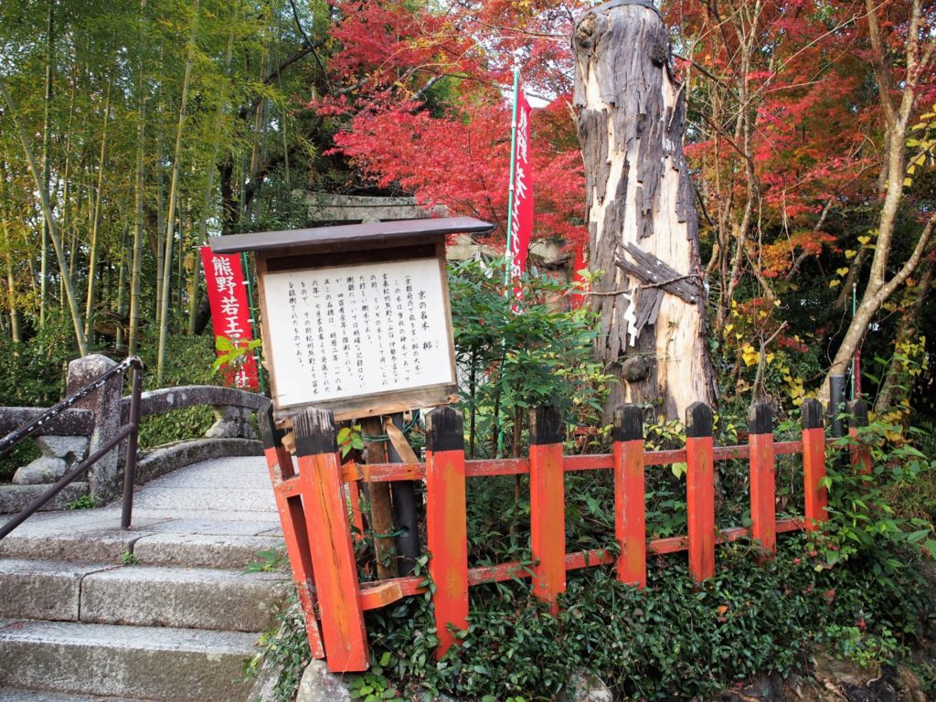 京の名木「梛の木」