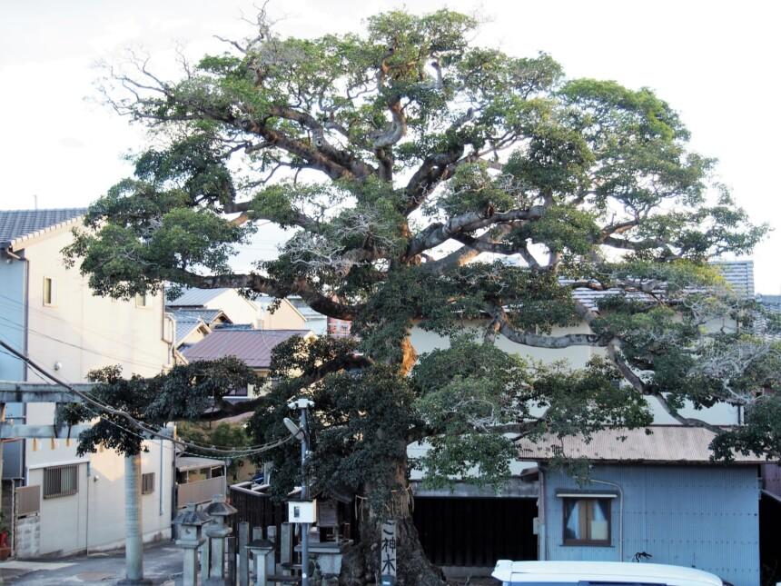 社殿から見たご神木「クロガネモチ」