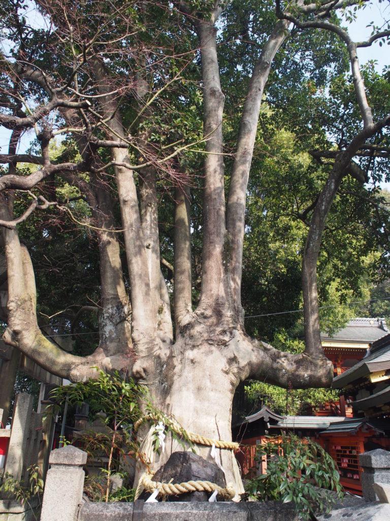 満足稲荷神社の御神木「もちの木」