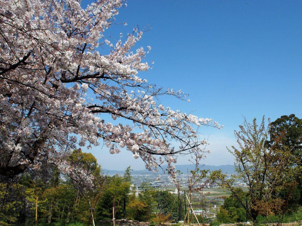 男山に咲く桜