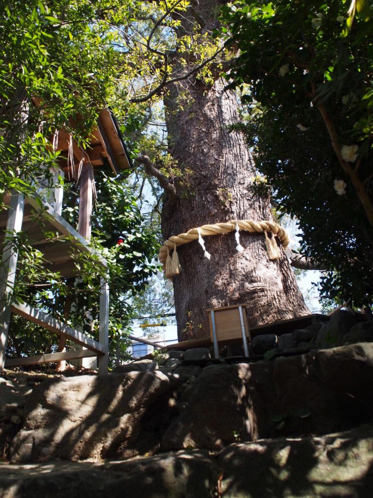 下から移した大樟の巨木
