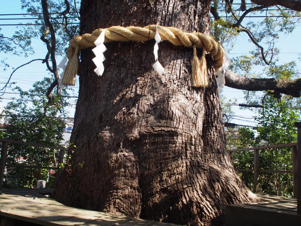 大樟は高さ20m、幹周り6.5m