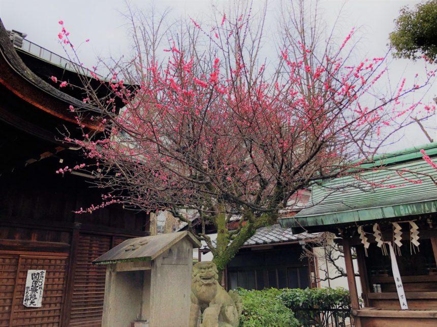 菅大臣神社の拝殿横の梅