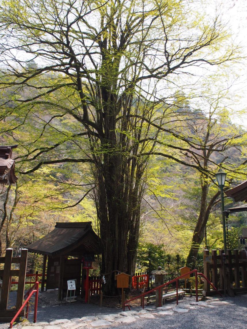 貴船神社のご神木の桂(本宮)