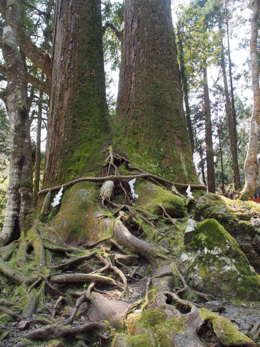 貴船の恋の道の脇にある「相生の大杉」