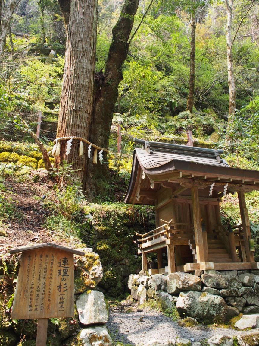 貴船神社の「連理の杉」