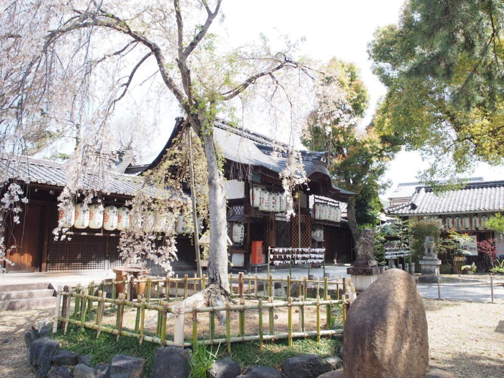 縣神社に植えられている「木の花桜」