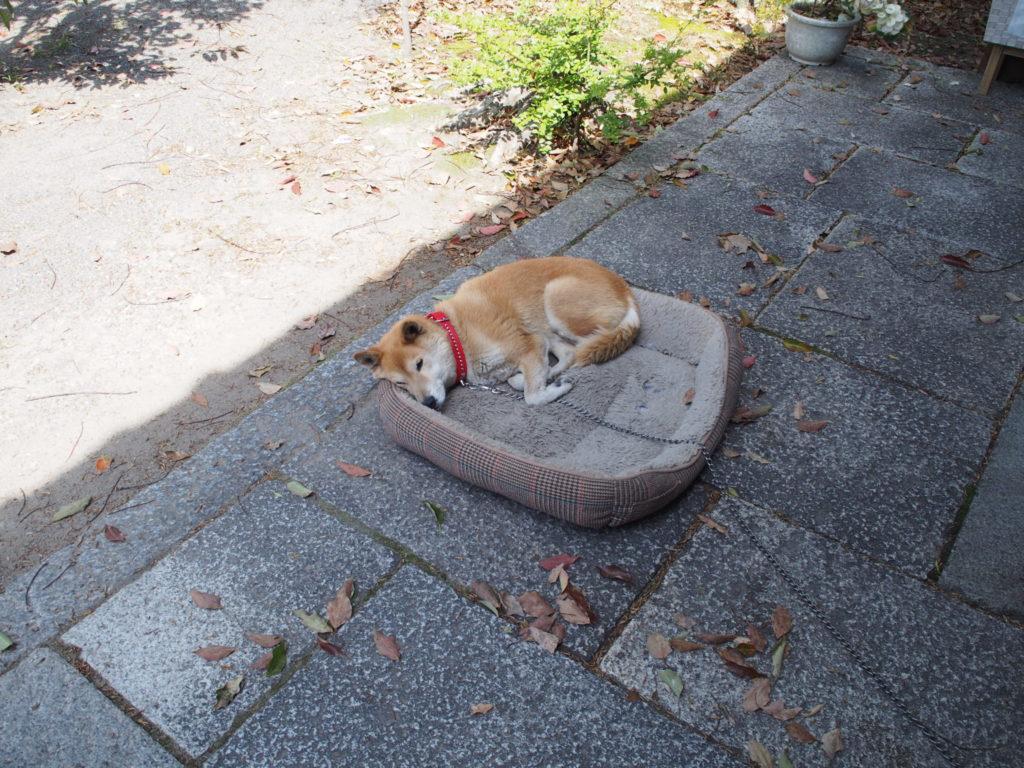 縣神社で爆睡する犬