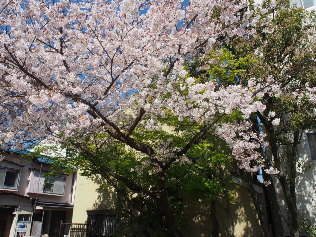 長建寺の桜