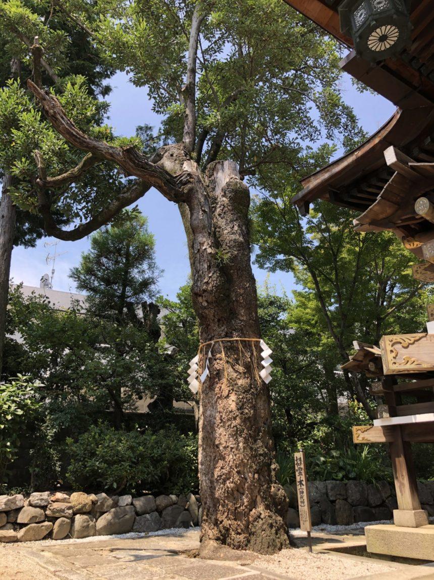 大将軍八神社の神代榊「招霊木」