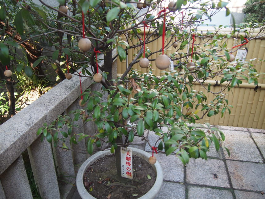 錦天満宮「大願梅の樹」