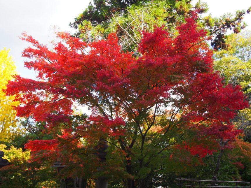 法輪寺境内の真っ赤な紅葉